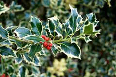 Variegated Holly. The leaves and berries of a variegated Holly bush royalty free stock photography