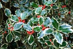 Variegated Holly. The leaves and berries of a variegated Holly bush stock photos