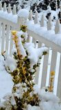 Variegated Holly genus ilex covered in fresh snow. Variegated Holly, genus ilex, family aquifoliaceae, gold and green leaves covered in freshly fallen snow stock images