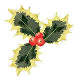 Variegated Holly Leaves and Red Berries.  Vector. Stock Photography