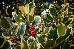 Variegated holly with red berries royalty free stock photo