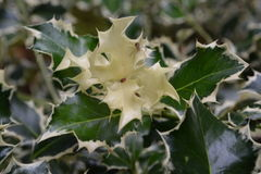 VARIEGATED HOLLY. SPIDER ON HOLLY PLANT Stock Image
