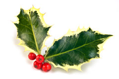 Variegated holly sprig. With vivid red berries isolated on white background in horizontal format Stock Photos