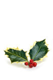 Variegated holly sprig. With vivid red berries isolated on white background in vertical format Royalty Free Stock Image