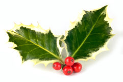 Variegated holly sprig. With vivid red berries isolated on white background in horizontal format Stock Image