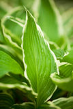 Variegated hosta Stock Photo