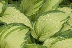 Variegated Hosta. Rain Drops on Variegated Hosta leaves Royalty Free Stock Images