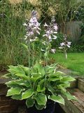 Variegated Hosta in bloom Stock Image