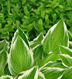 Variegated Hosta Leaves. With White Edges Royalty Free Stock Images