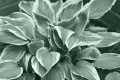 Variegated Hostas. In a Green Tone Royalty Free Stock Image