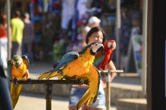 Pair of variegated macaw parrots stock images