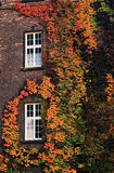 Variegated ivy on a brick wall. Variegated ivy autumn twist around the windows on the brick wall Stock Photos