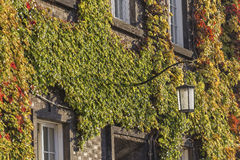 Variegated ivy on a brick wall and the lamp Stock Photo