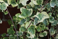 Variegated Ivy on a wall. Variegated  Ivy on a wall. Plants vegitation Stock Photos