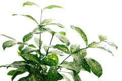 Variegated Japanese bamboo houseplant Stock Image