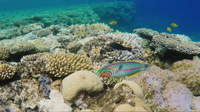 A Variegated Klunzingers Wrasse fish floats on the background of magnificent corals in the Red Sea stock footage