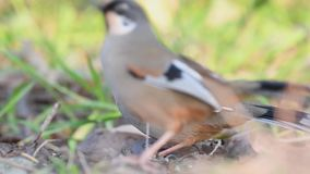 Variegated laughingthrush stock video