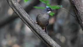 Variegated laughingthrush stock video footage