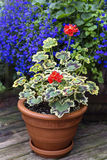 Variegated Leaf Geranium. Growing in a clay pot on a home patio stock photo