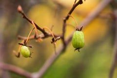 Variegated-leaf hardy kiwi, Actinidia kolokmita fruits. Variegated-leaf hardy kiwi, Actinidia kolokmita bush in a finnish garden- closeup on fruits Royalty Free Stock Photo