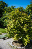 Variegated-leaf hardy kiwi, Actinidia kolokmita. Bush in a finnish garden Stock Photos