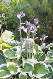 Variegated Leaf Hostas in Bloom Royalty Free Stock Images