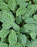 Variegated leaves Royalty Free Stock Photography
