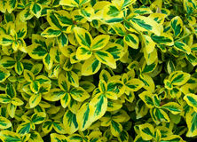 Variegated leaves Stock Photography