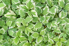 Variegated leaves as background Royalty Free Stock Photo