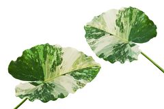 Variegated Leaves of Elephant Ear Plant Isolated on White Background. Variegated Leaves of Elephant Ear Tropical Plant Isolated on White Background stock images