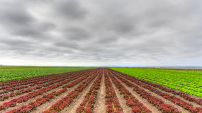 Variegated Lettuce Field Royalty Free Stock Photography