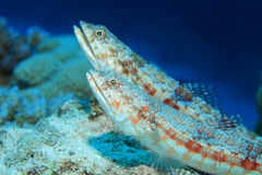 Variegated lizardfish Royalty Free Stock Photos