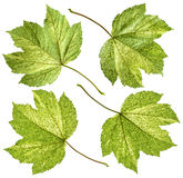 Variegated maple leaf Stock Photo