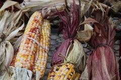 Ears of corn. Colored Ears of Corn on the Cob Royalty Free Stock Photo