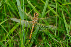 Variegated Meadowhawk Dragonfly Royalty Free Stock Photos