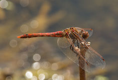 Variegated Meadowhawk Stock Photo