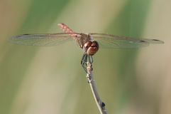 Variegated Meadowhawk. Perched on a branch stock images