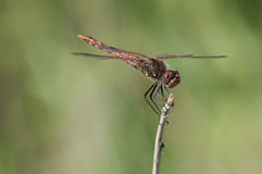 Variegated Meadowhawk. Perched on a branch stock photography