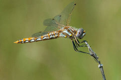Variegated Meadowhawk Stock Images