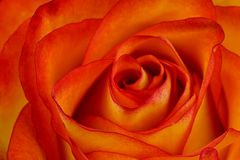 Variegated orange and yellow rose background Royalty Free Stock Images