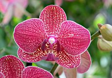 Variegated Orchid Royalty Free Stock Photography
