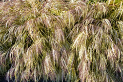 Variegated Ornamental Grass Stock Image