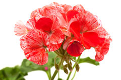 Variegated pink and red geranium Royalty Free Stock Photography