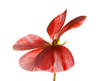 Variegated pink and red geranium Stock Photo