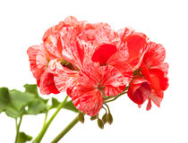 Variegated pink and red geranium Royalty Free Stock Images