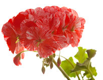 Variegated pink and red geranium Stock Images