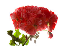 Variegated pink and red geranium Stock Photography