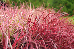 Variegated Red Fountain Grass Stock Photography