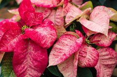 Variegated red and white poinsettias Stock Photos