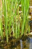 Variegated Reeds Stock Image